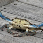 Blue crab showing claws
