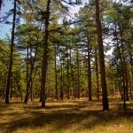 Pine Barrens of NJ