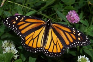 Monarch Shortcourse @ Barnegat Bay EcoCenter | Toms River | New Jersey | United States